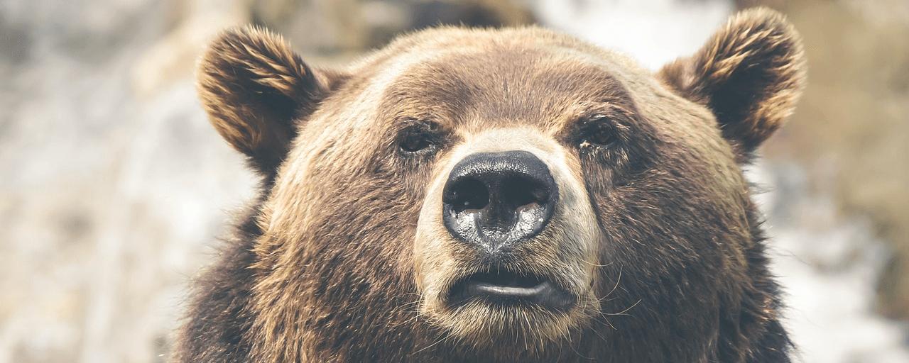 медведь сонник