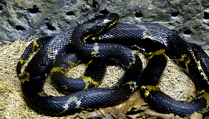 К чему снится черная змея? Толкование сна с черными змеями