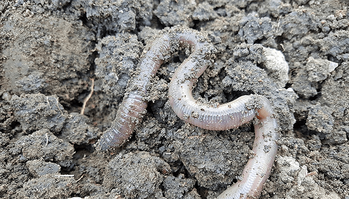 К чему снятся белые черви?