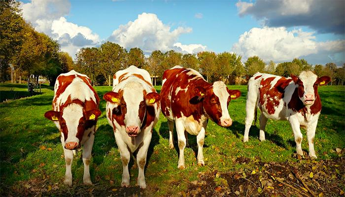 Видеть во сне корову - к чему снится такой сон?