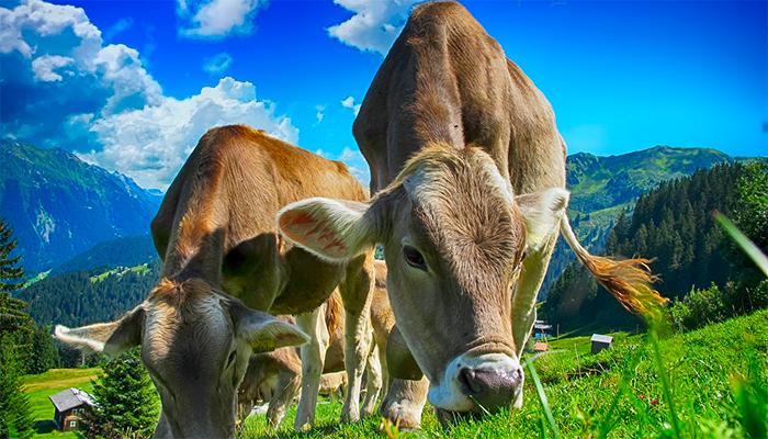 Видеть во сне корову — к чему снится такой сон?