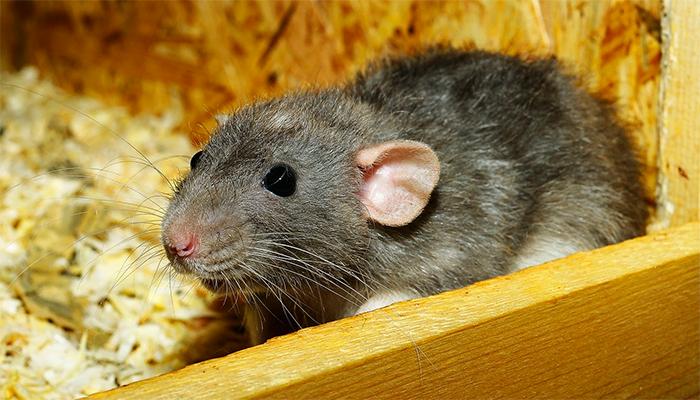 Видеть во сне крысу - толкование сна по сонникам