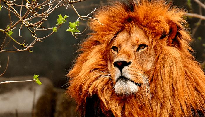 К чему снятся львы? Толкование сна со львом по сонникам