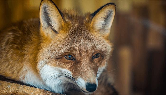 К чему снятся лисы? Подробный разбор сна с лисой по сонникам