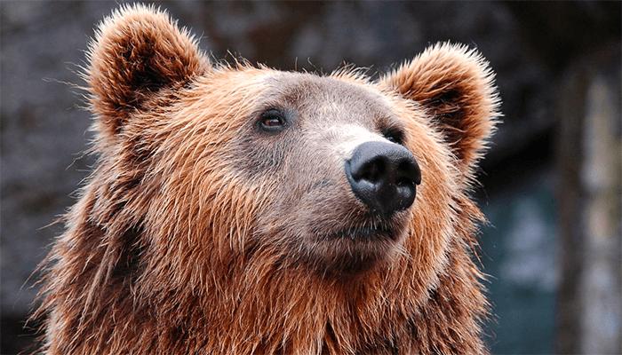 К чему снится медведь женщине?