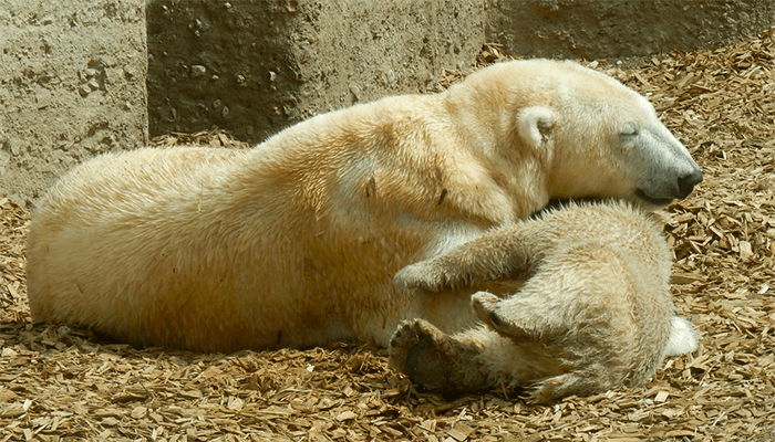 К чему снится медвежонок? Толкование снов с медвежатами по сонникам