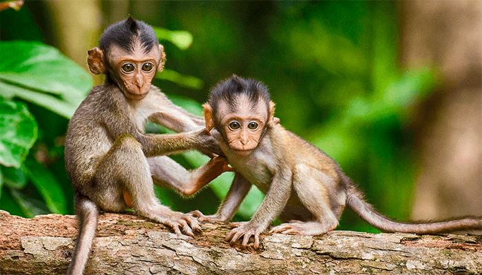 К чему снятся обезьяны? Толкование сна с обезьяной по сонникам