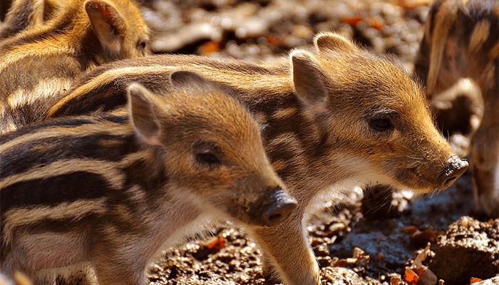 К чему снятся свиньи? Что говорят сонники о свинье? Толкование сна