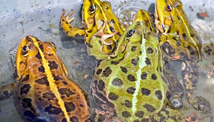 К чему снятся жабы? Подробное толкование сна