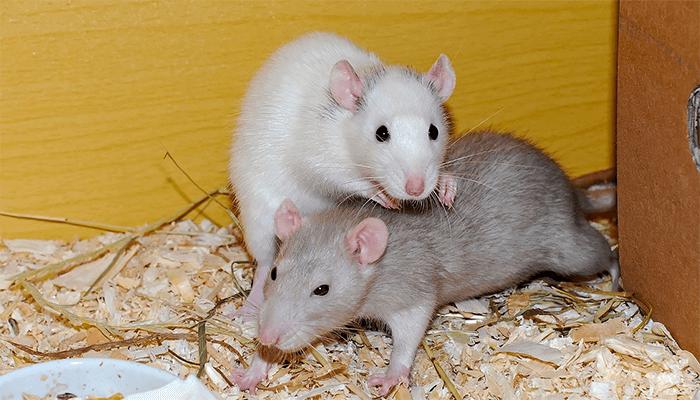 Белая крыса во сне — чего ожидать наяву?
