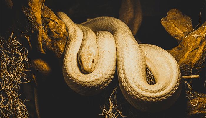 К чему снится белая змея — толкование по сонникам