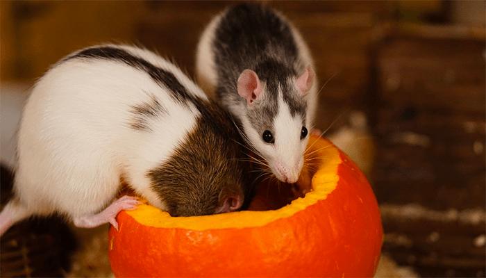 Белая крыса во сне - чего ожидать наяву?