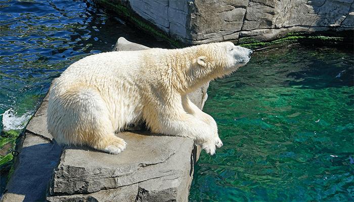 К чему снится белый медведь? Толкование по сонникам