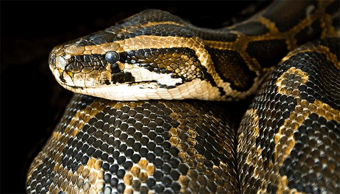 К чему снится большая змея - толкование по сонникам