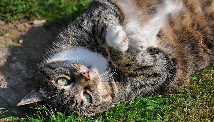 Сонник большой кот — толкование снов с толстой кошкой