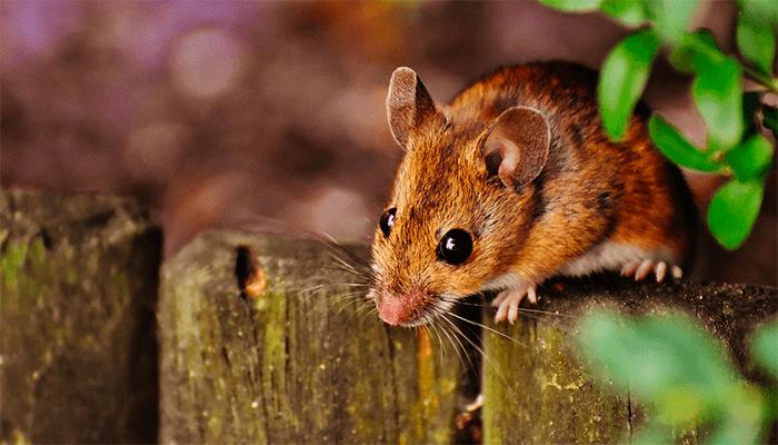 Сны о мышах - стоит ли ждать беды от серой шерстки