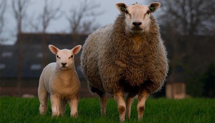 К чему снятся овцы? Толкование сна по сонникам