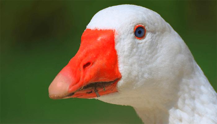 Толкование сновидений с белыми гусями