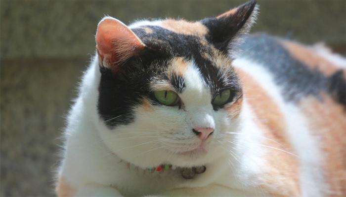 Сонник большой кот - толкование снов с толстой кошкой