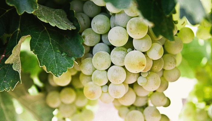 белый-виноград-во-сне