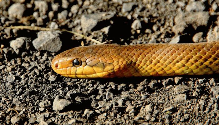 сон-о-желтой-змее