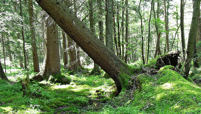 Падающее дерево во сне предвещает удачу или не приятности?