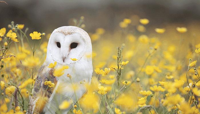 К чему снится сова — толкование по сонникам Ванги, Миллера и Исламскому