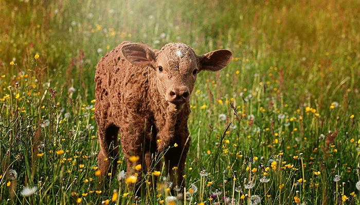 К чему снится теленок — толкование по популярным сонникам