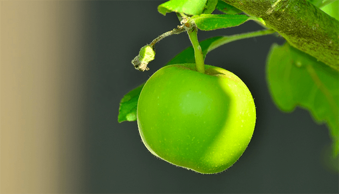 К чему приснилась яблоня?
